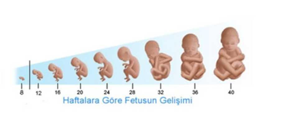 Gebelikte Hafta Hafta Bebeğin Boyu ve Kilosunu Hesaplama